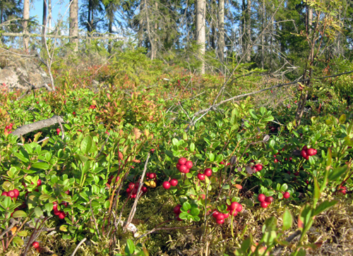 Lingonberry in Swedish woods